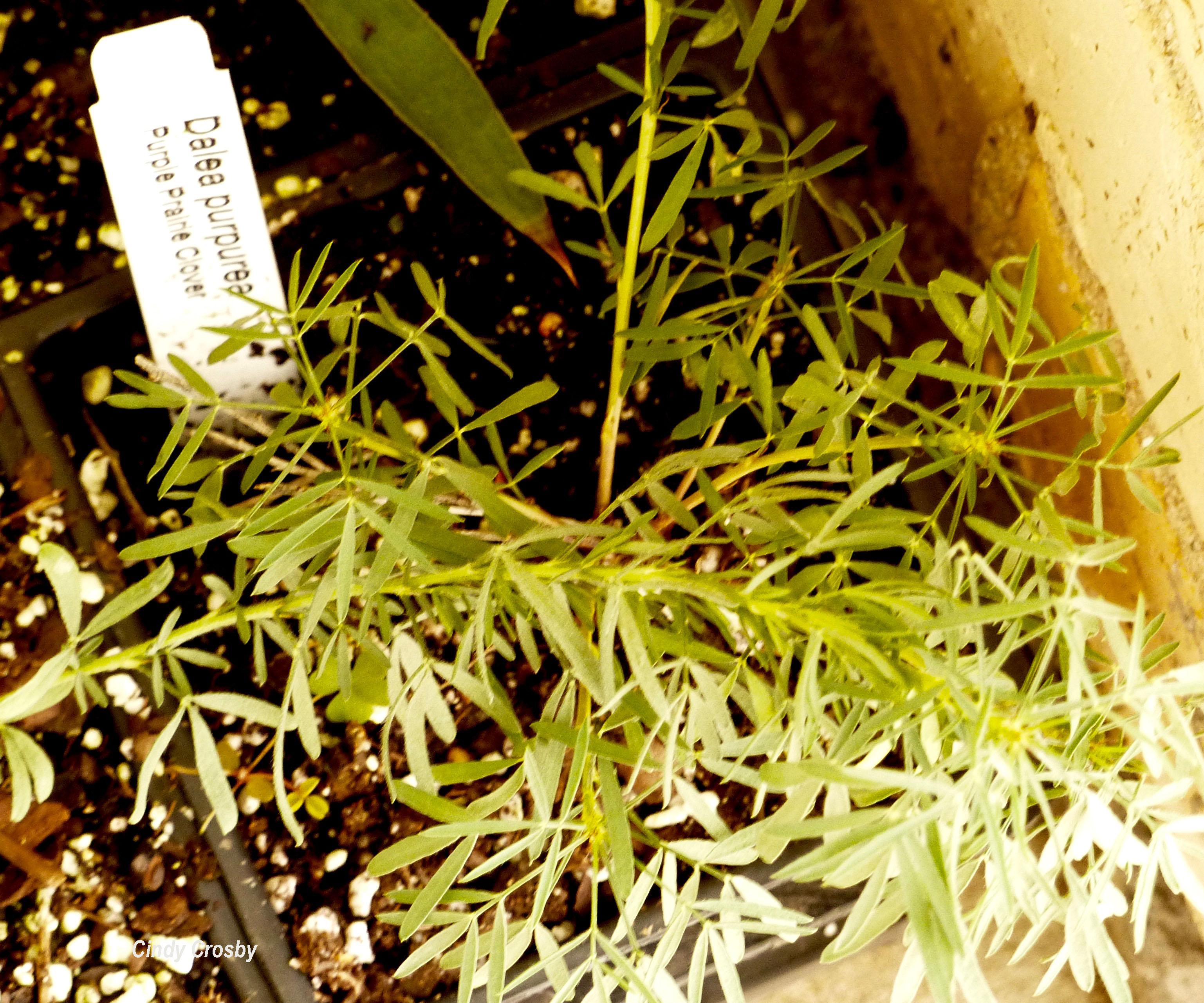 purpleprairiecloverpot51219WM.jpg