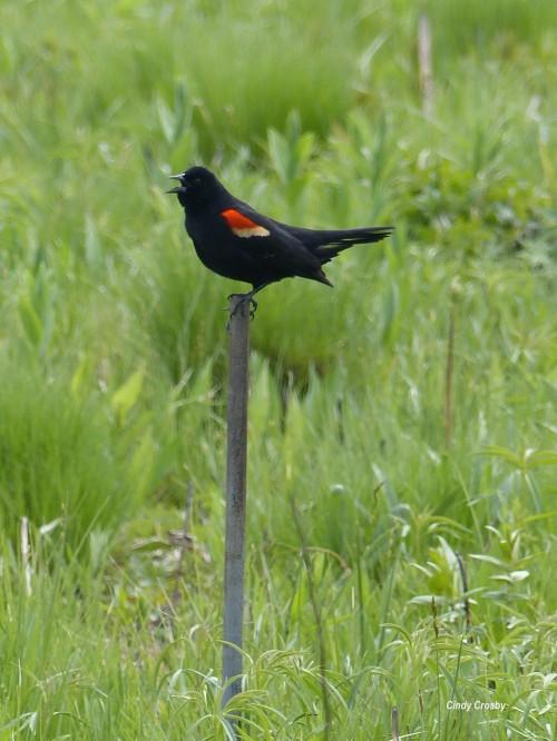 redwingedblackbird51019WMSPMA.jpg