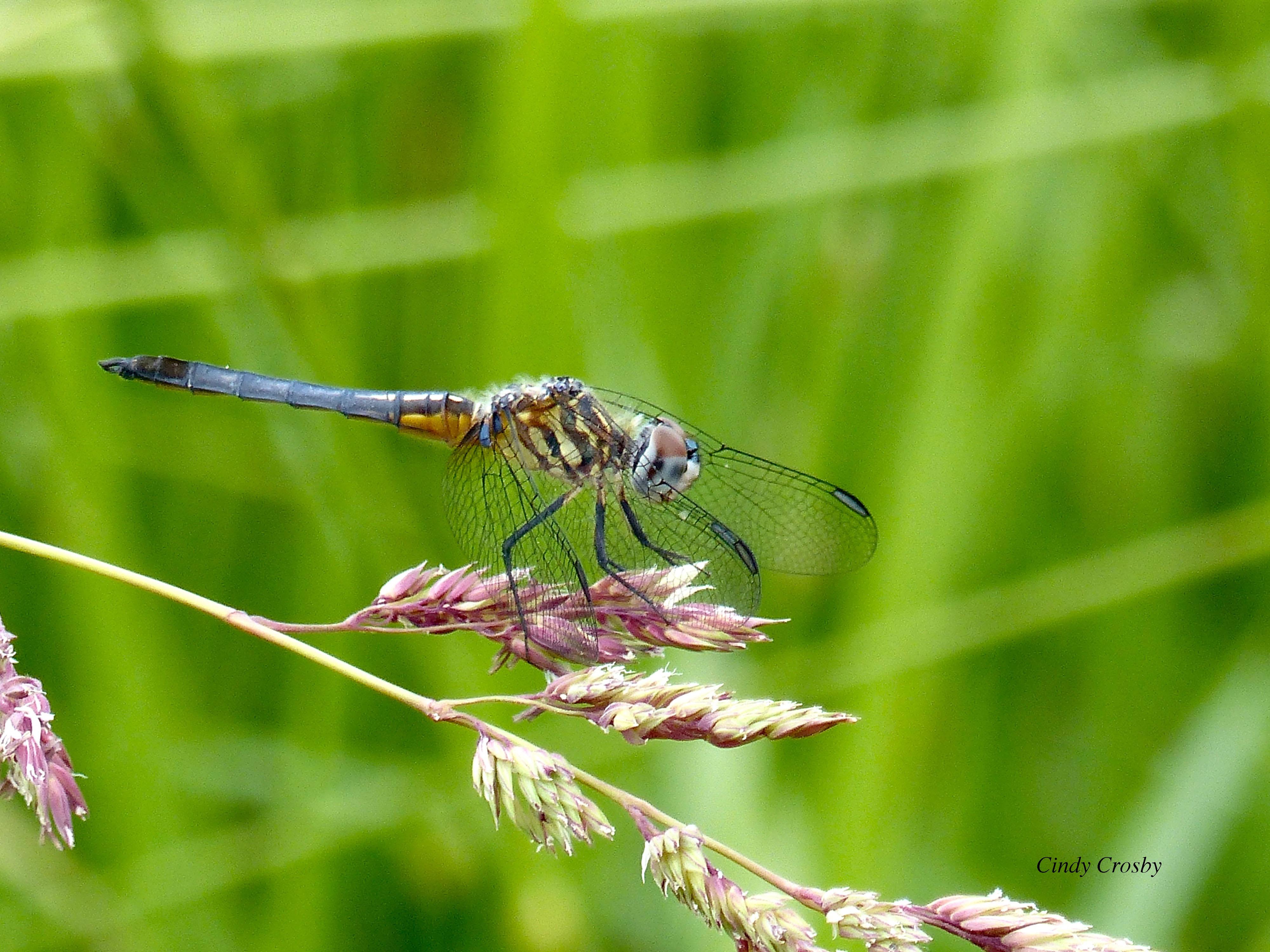 bluedasherdragonfly62419WM.jpg