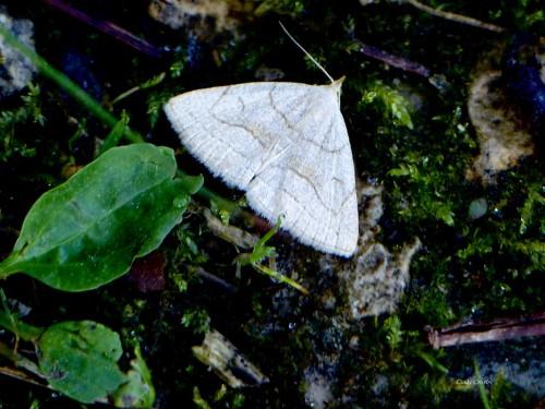 Fan Footed Moth UWMA6719WM.jpg