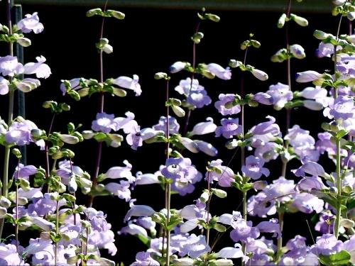 large-floweredbeardtongueuwma6719WM