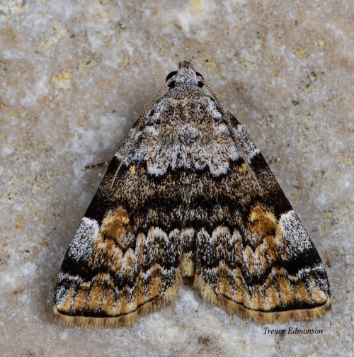 WMAmerican Idia Moth (Idia americalis) SPMW61419 Trevor Edmonson.jpg