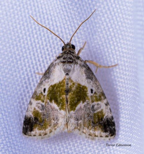 WMBlack-dotted Glyph (Maliattha synochitis) Trevor Edmonson 61419 SPMA