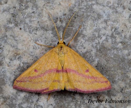 WMChickweed Geometer Moth (Haematopis grataria) SPMA61419TrevorEdmonson