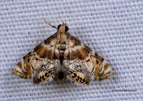 WMFeather-edged Petrophila Moth (Petrophila fulicalis) SPMA61419 Trevor Edmonson.jpg