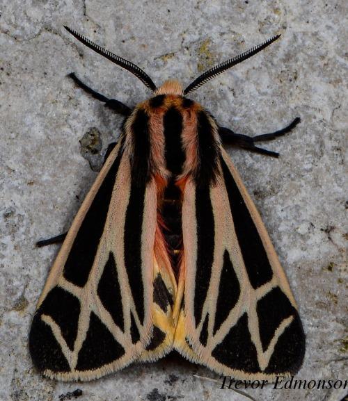 WMHarnessed Tiger Moth (Apantesis phalerata) Trevor Edmonson61419SPMA.jpg