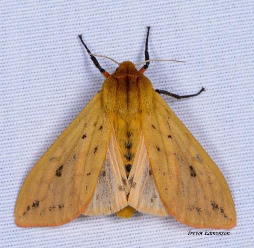 WMIsabella Tiger Moth (Pyrrharctia isabella) 61419 Trevor Edmonson.jpg