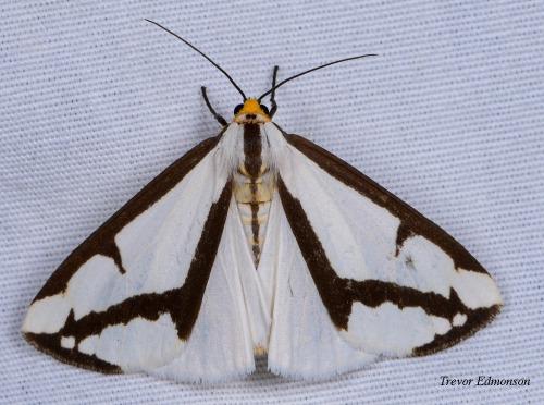 WMLeconte'sHaploa Moth (Haploa lecontei) 61419TrevorEdmonson SPMA.jpg