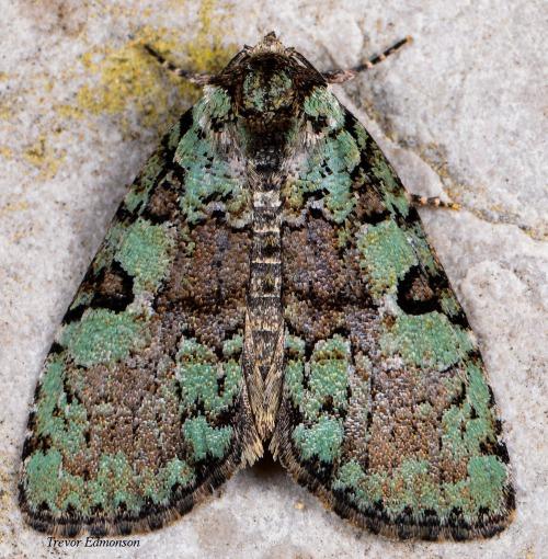 WMMarbled-green Leuconycta Moth (Leuconycta lepidula) SPMA61419 Trevor Edmonson (.jpg