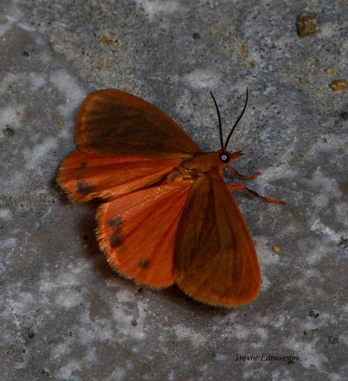 WMOrange Virbia Moth (Virbia aurantiaca) 61419 SPMA Trevor Edmonson.jpg