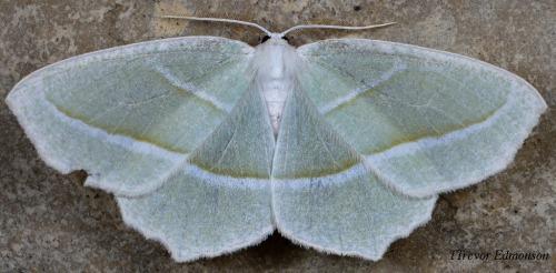 WMPale Beauty Moth (Campaea perlata) Trevor Edmunson 61419SPMA