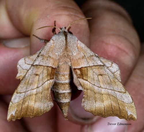 WMWalnut Sphinx (Amorpha juglandis) SPMA61419 Trevor Edmonson.jpg
