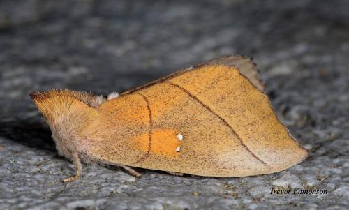 WMWhite-dotted Prominent Moth SPMA61419 Trevor Edmonson.jpg