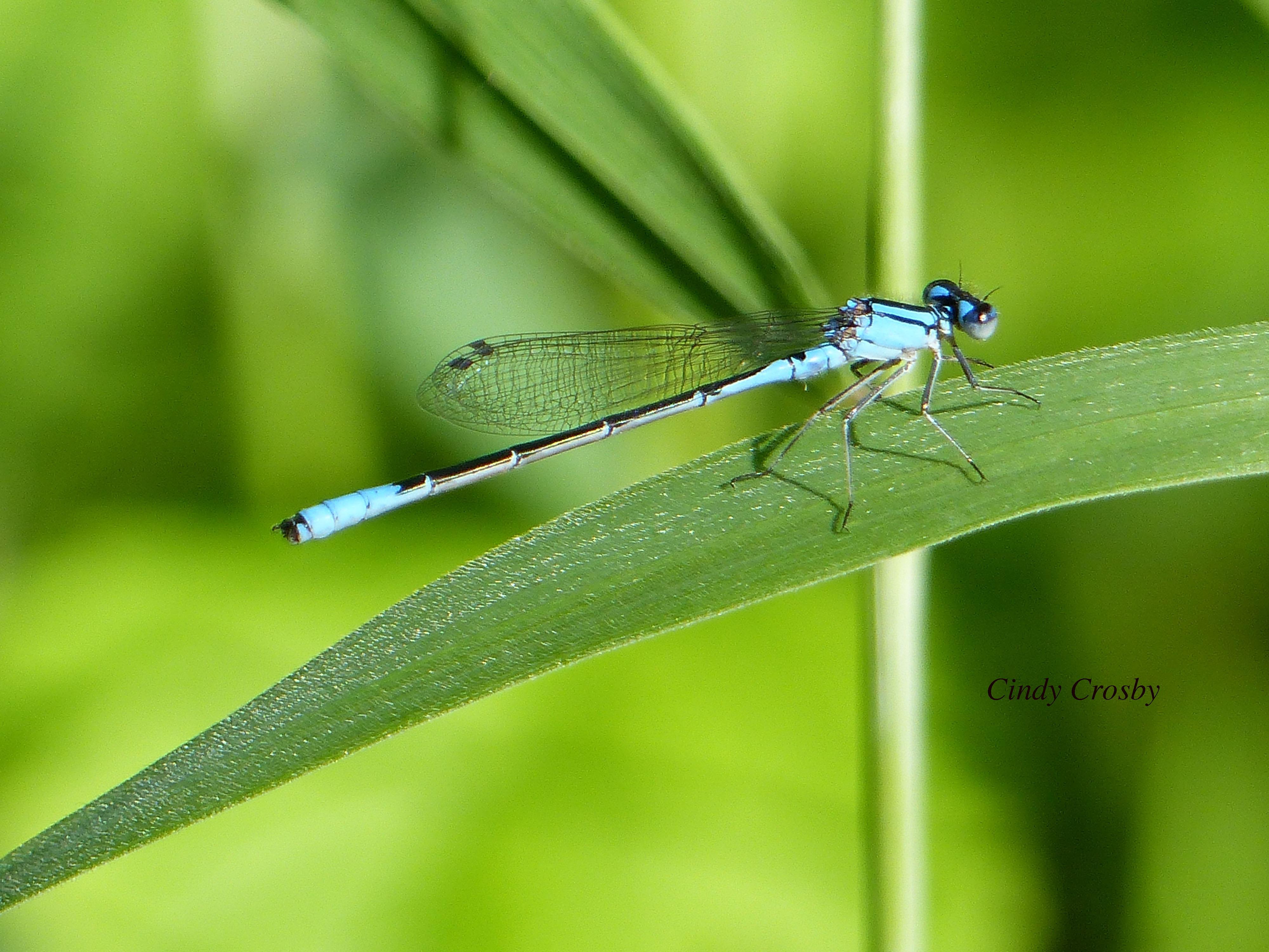 Azure Bluet SPUppersavanna62719WM.jpg