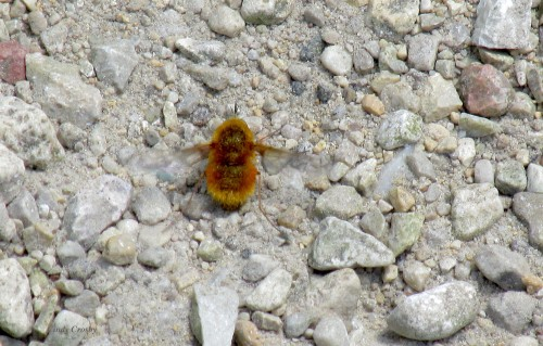 Bee fly SPMA72819WM.jpg