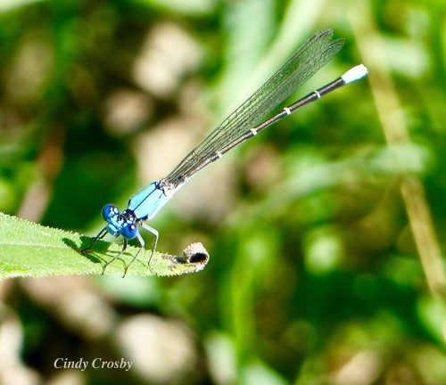 BluefrontedDancerSPMA7519WM.jpg