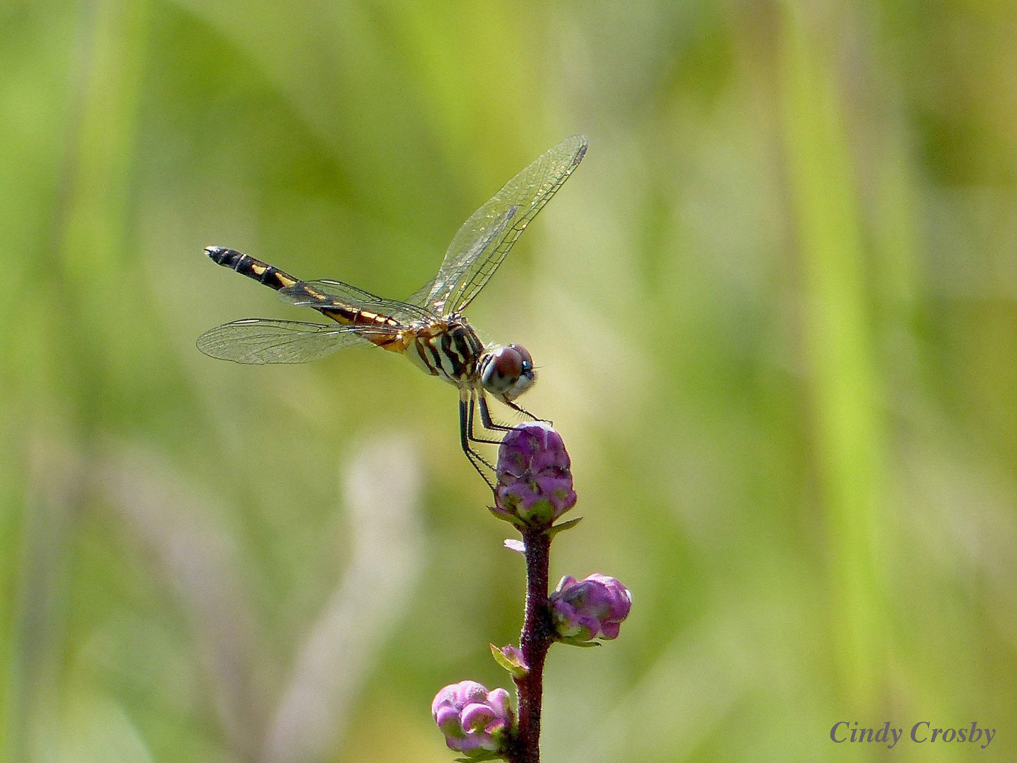 Female Blue Dasher Belmont Prairie WM8716.jpg