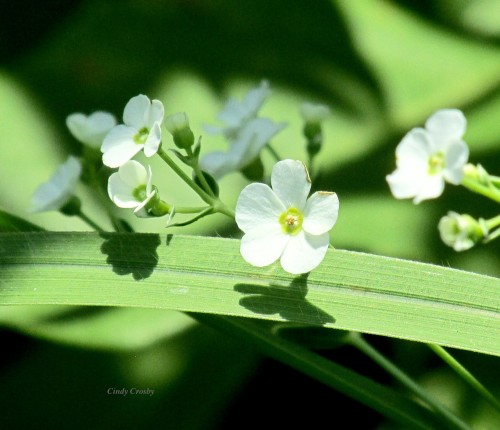 Floweringspurge72819WM.jpg