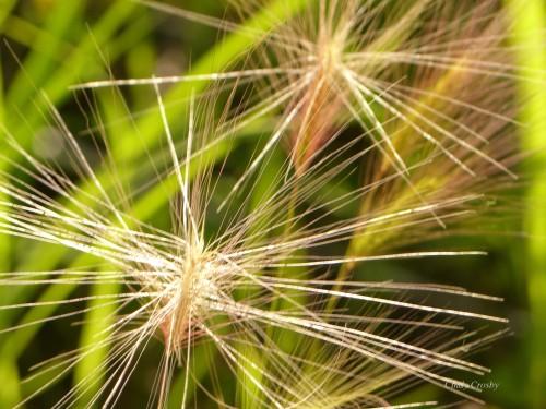 foxbarleygrassSPMA62619WM.jpg