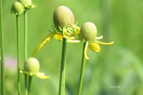 grayheadedconeflower71619SPMAWM.jpg