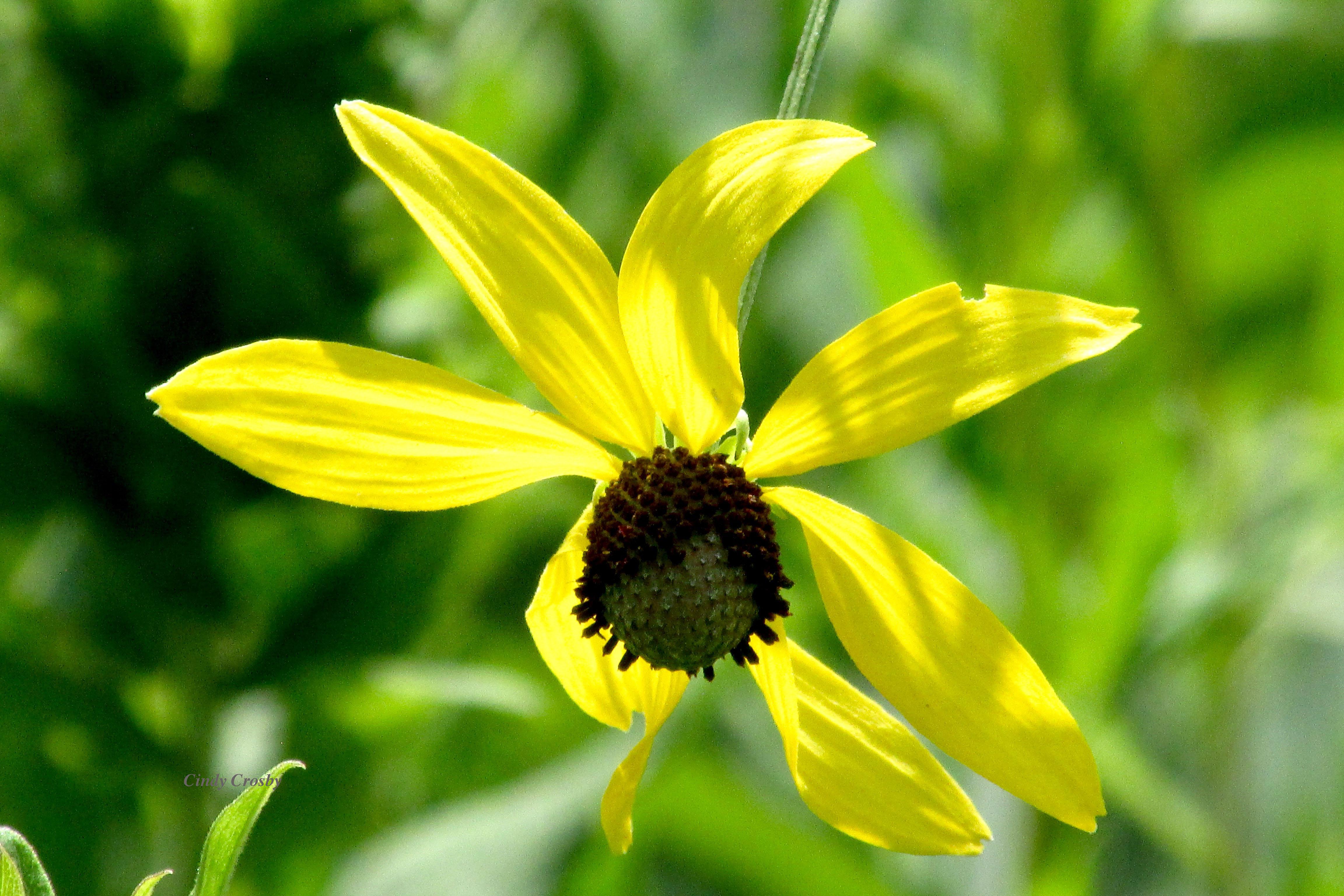 Grayheadedconeflower72819SPMAWM