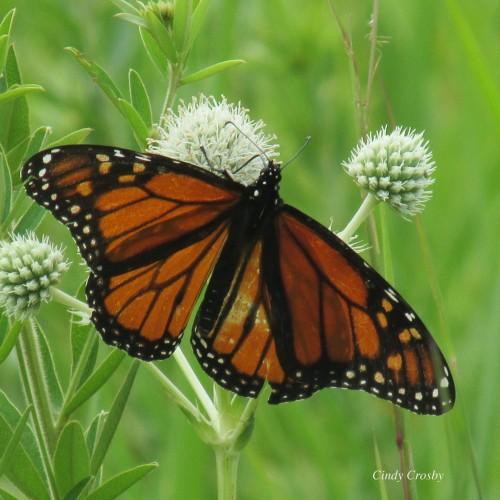 monarchonrattlesnakemasterSPMAWM.jpg