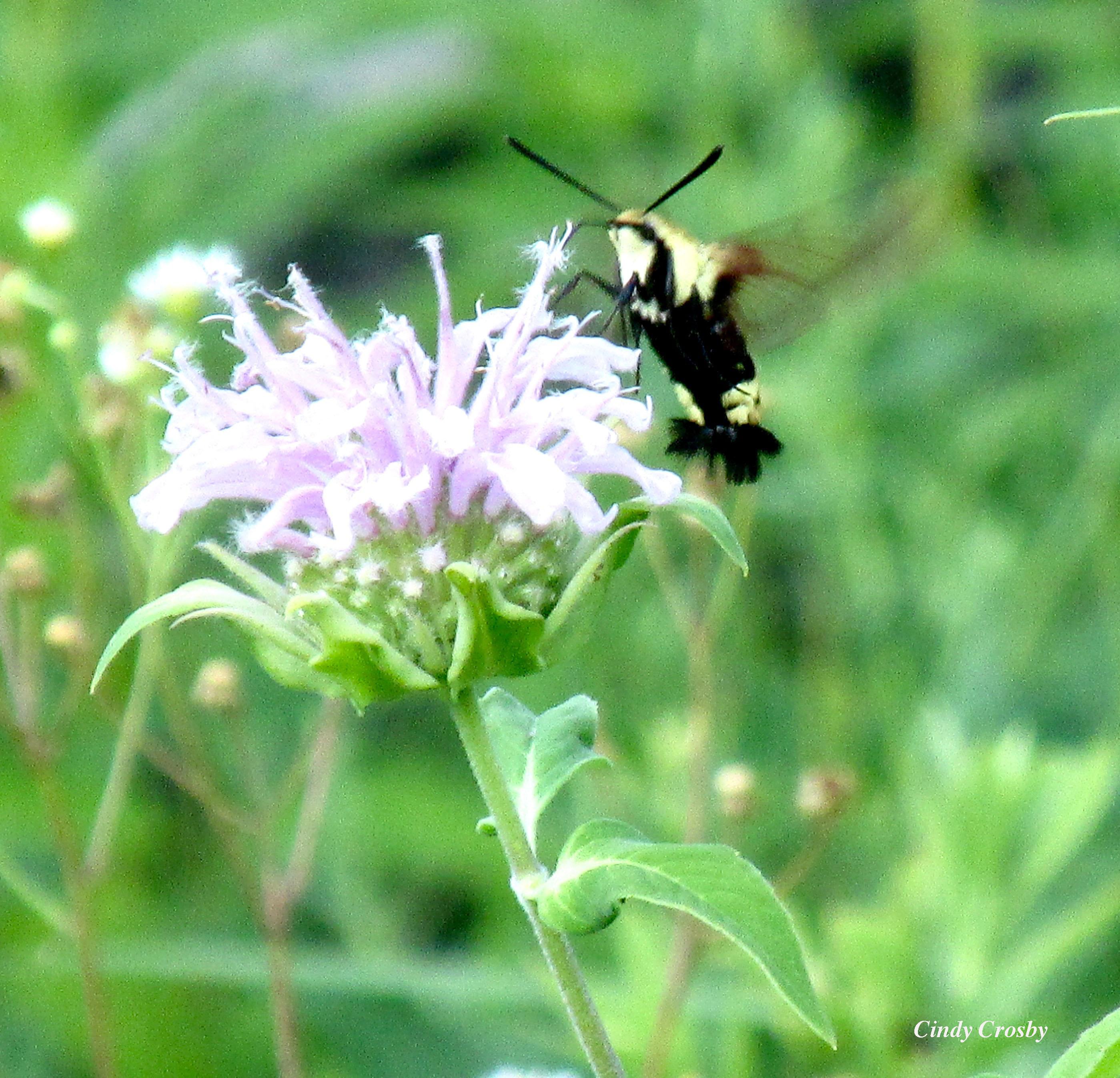 WMsnowberryclearwin hummingbird sphinx moth SPMA71419.jpg