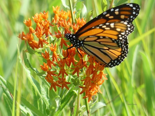 butterflyweedandmonarch8319WMSPMA.jpg