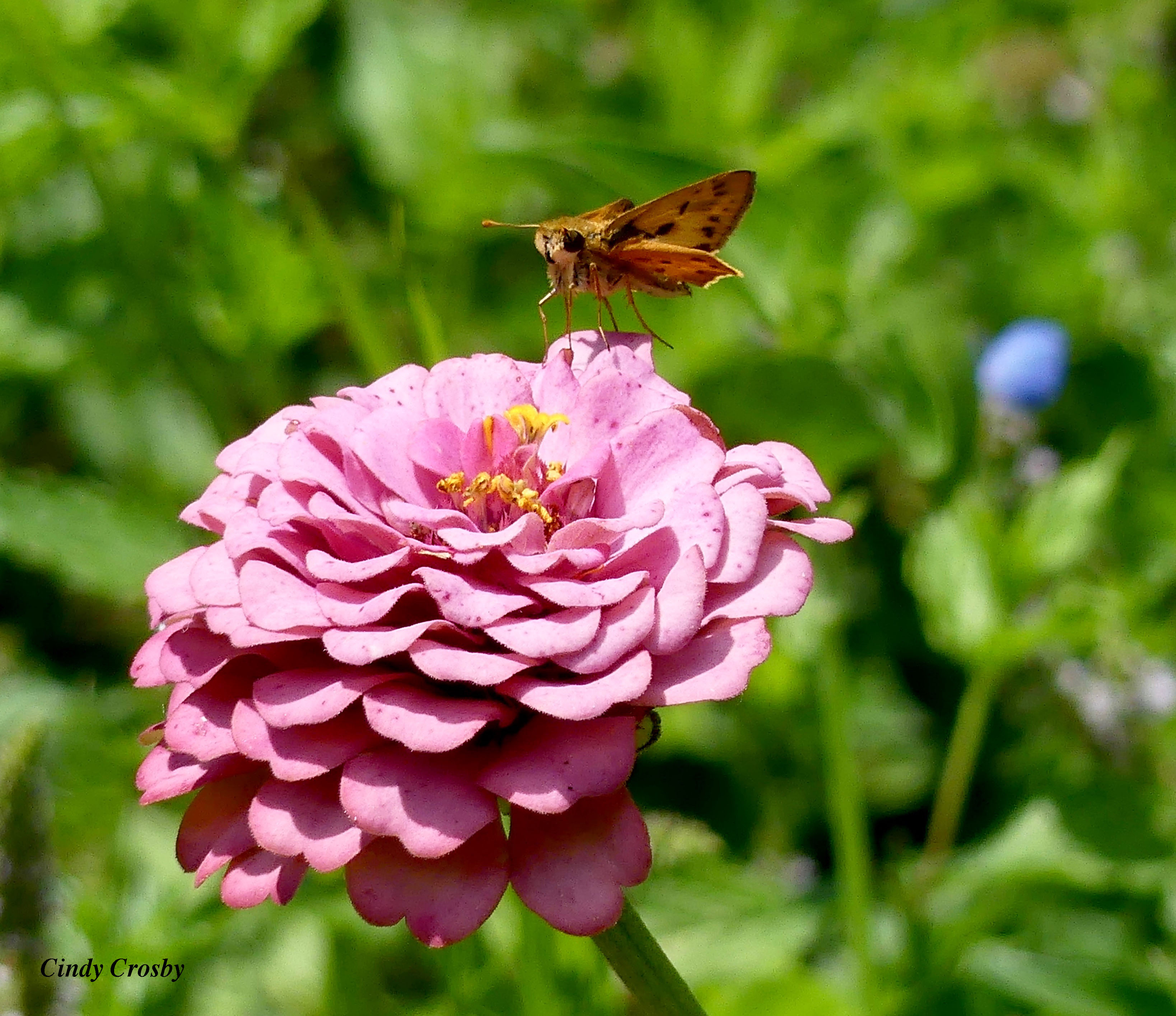 Fiery Skipper GE backyard zinnia WM82419.jpg