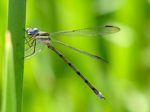 Great Spreadwing GE backyardpond81919WM.jpg
