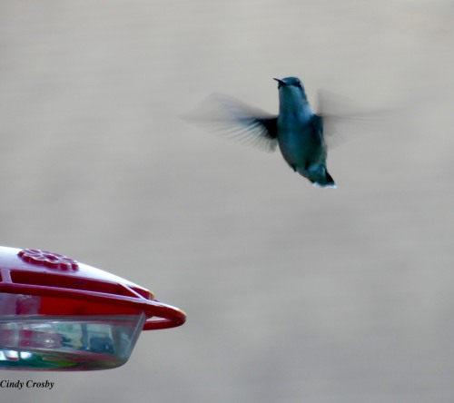 Hummingbird82419flyingWM.jpg