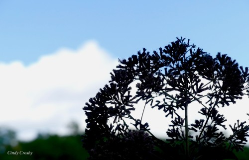 Joe Pye Weed SPMA 82319WM Sky clouds.jpg