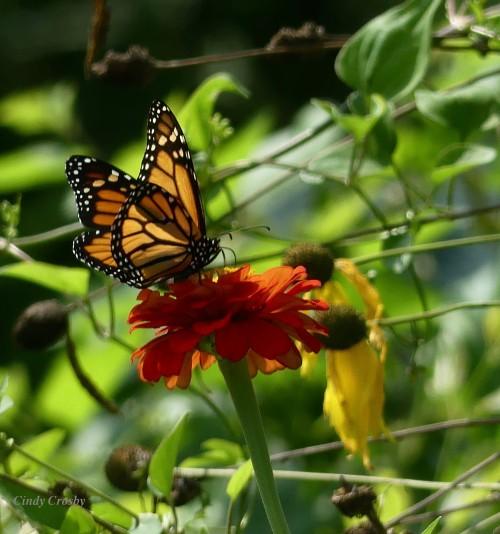 monarchonzinniagrayheadedconeflowerGEWM811919.jpg