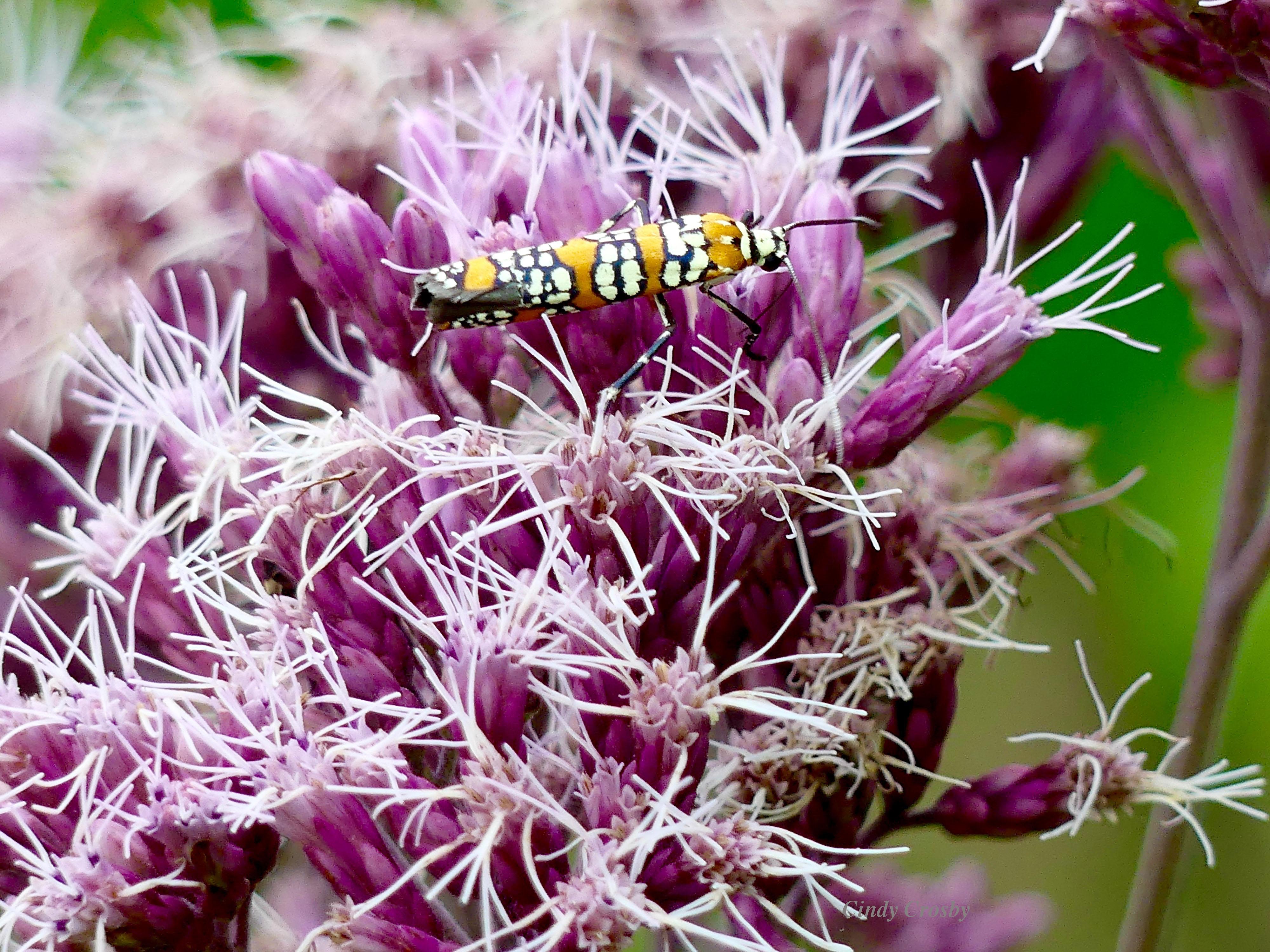 mothWMjoepyeweedailanthuswebwormmoth81919GEbackyard.jpg