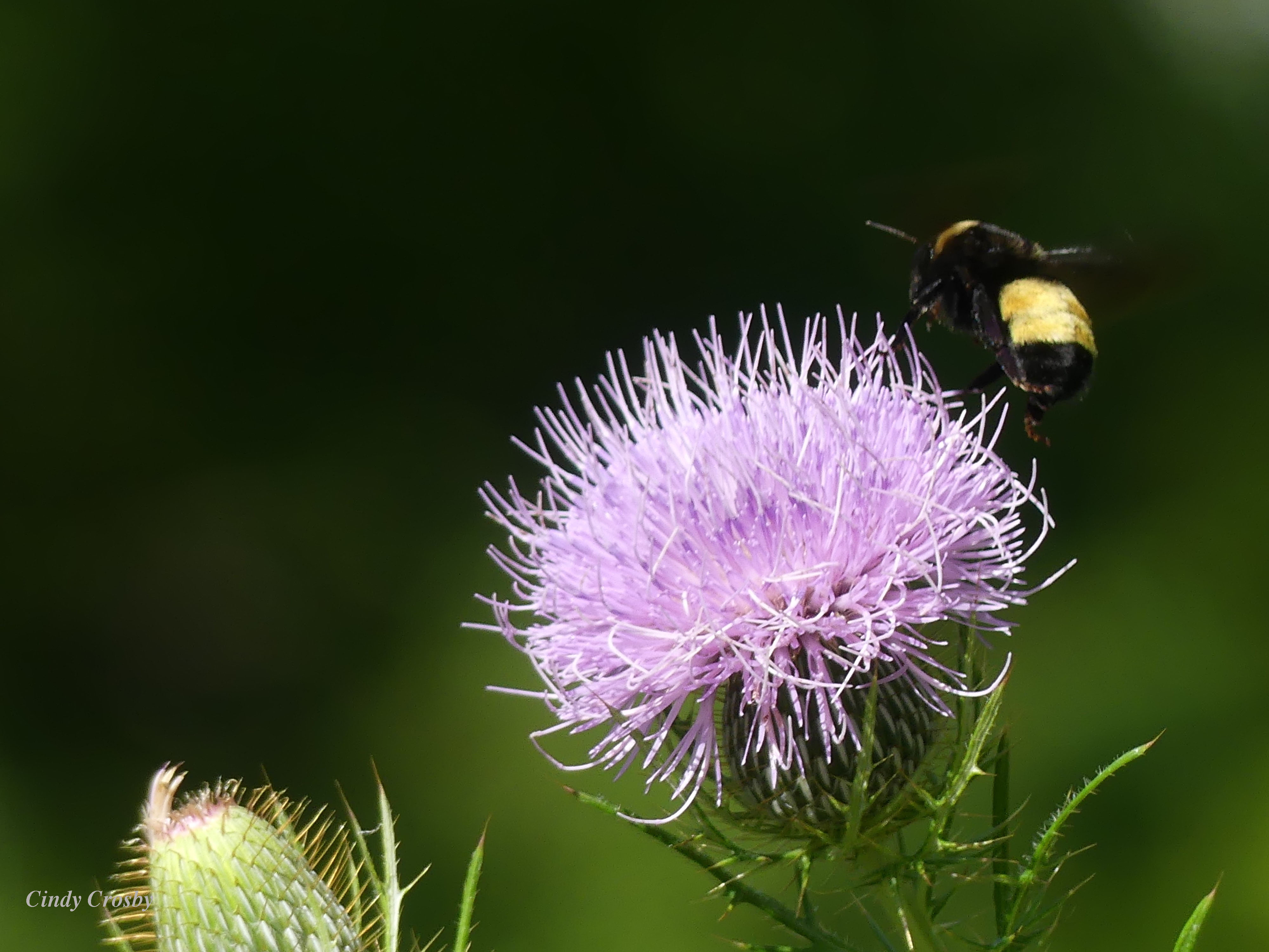 Thistle and a bee SPMA82319WM.jpg