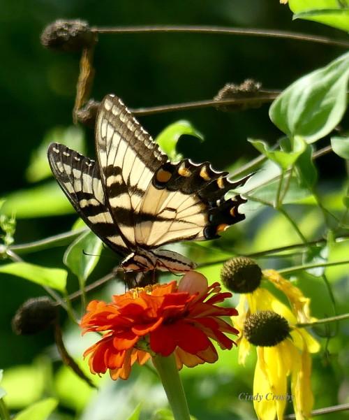 tigerswallowtail81919GEWM.jpg