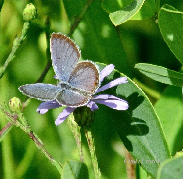 Eastern-tailed blue 2014 SPWM