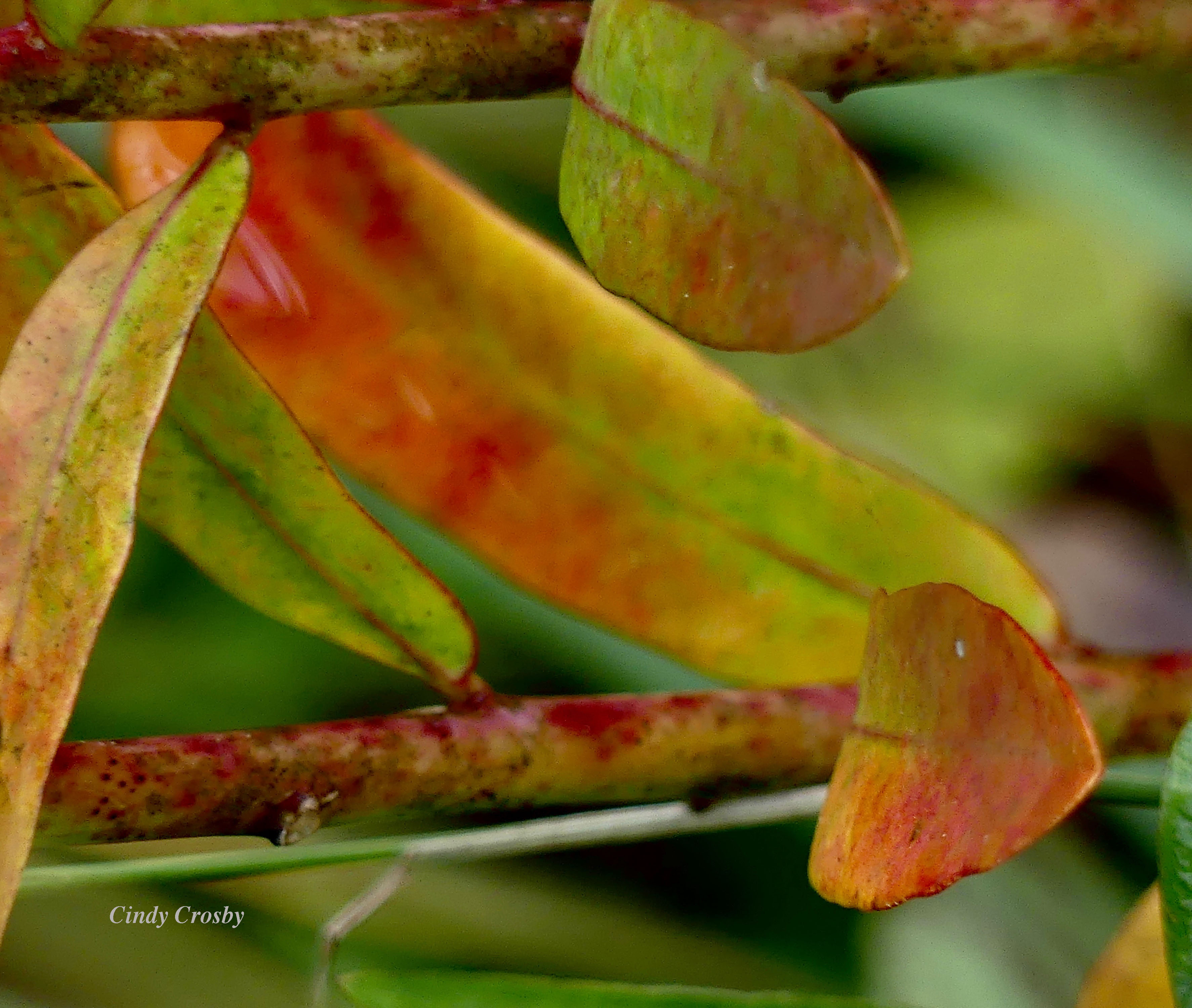 floweringspurgeBelmontPrairie92219WM.jpg