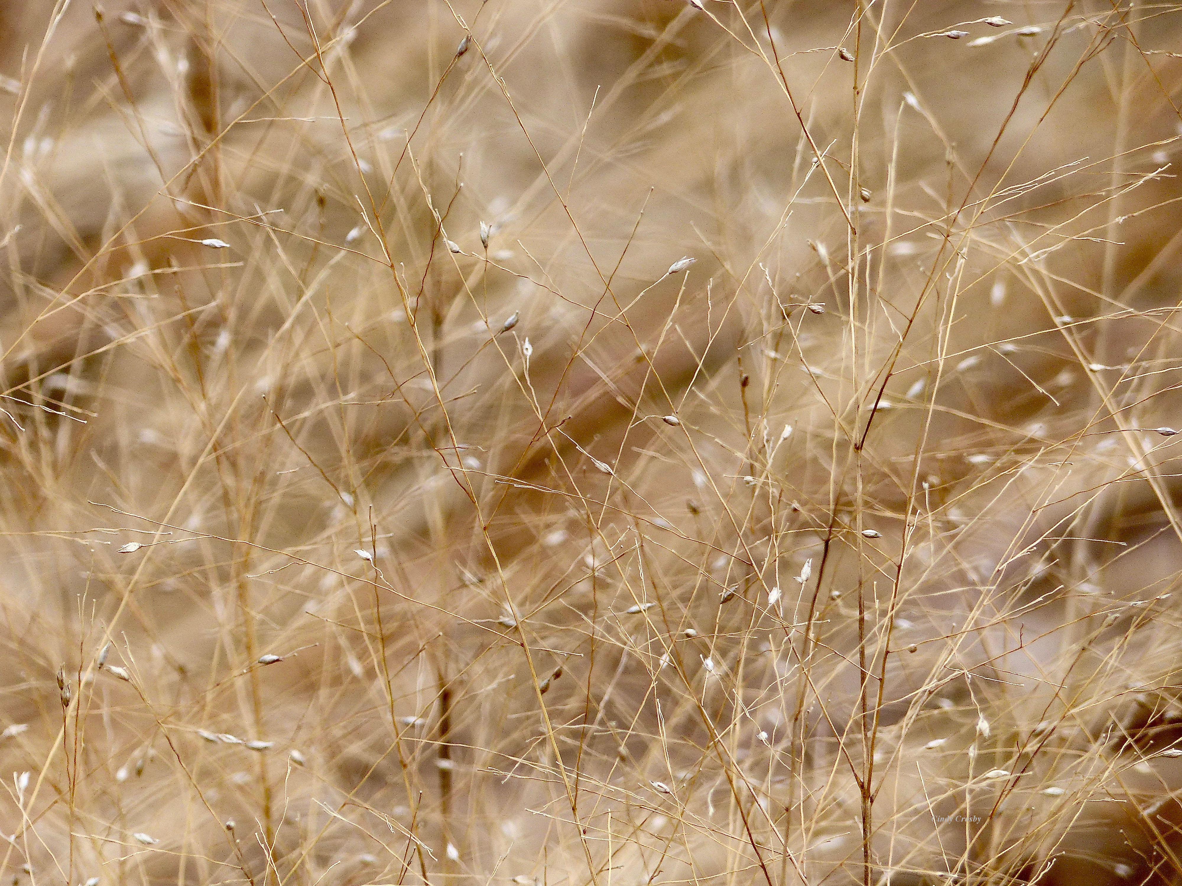 Glenbard South Prairie More Switchgrass 2017WM.jpg