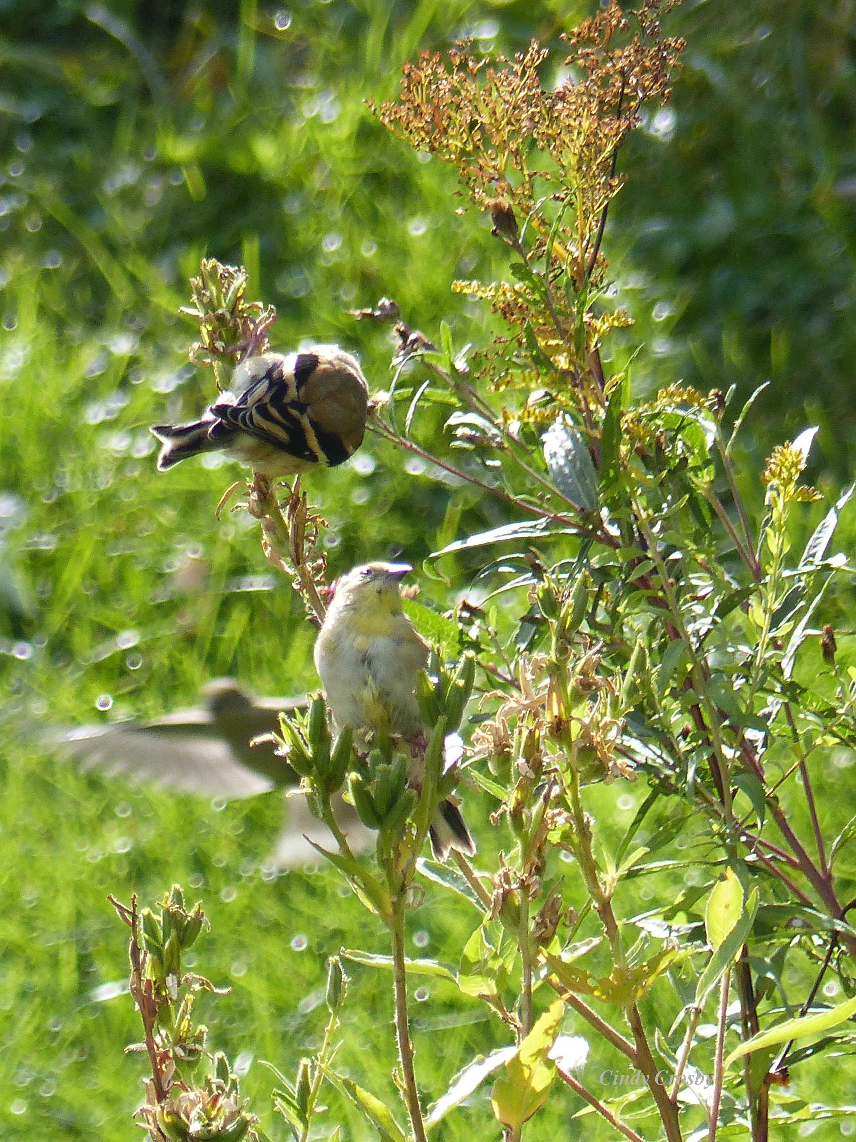 goldfinchesGEbackyardSeptemberWM.jpg