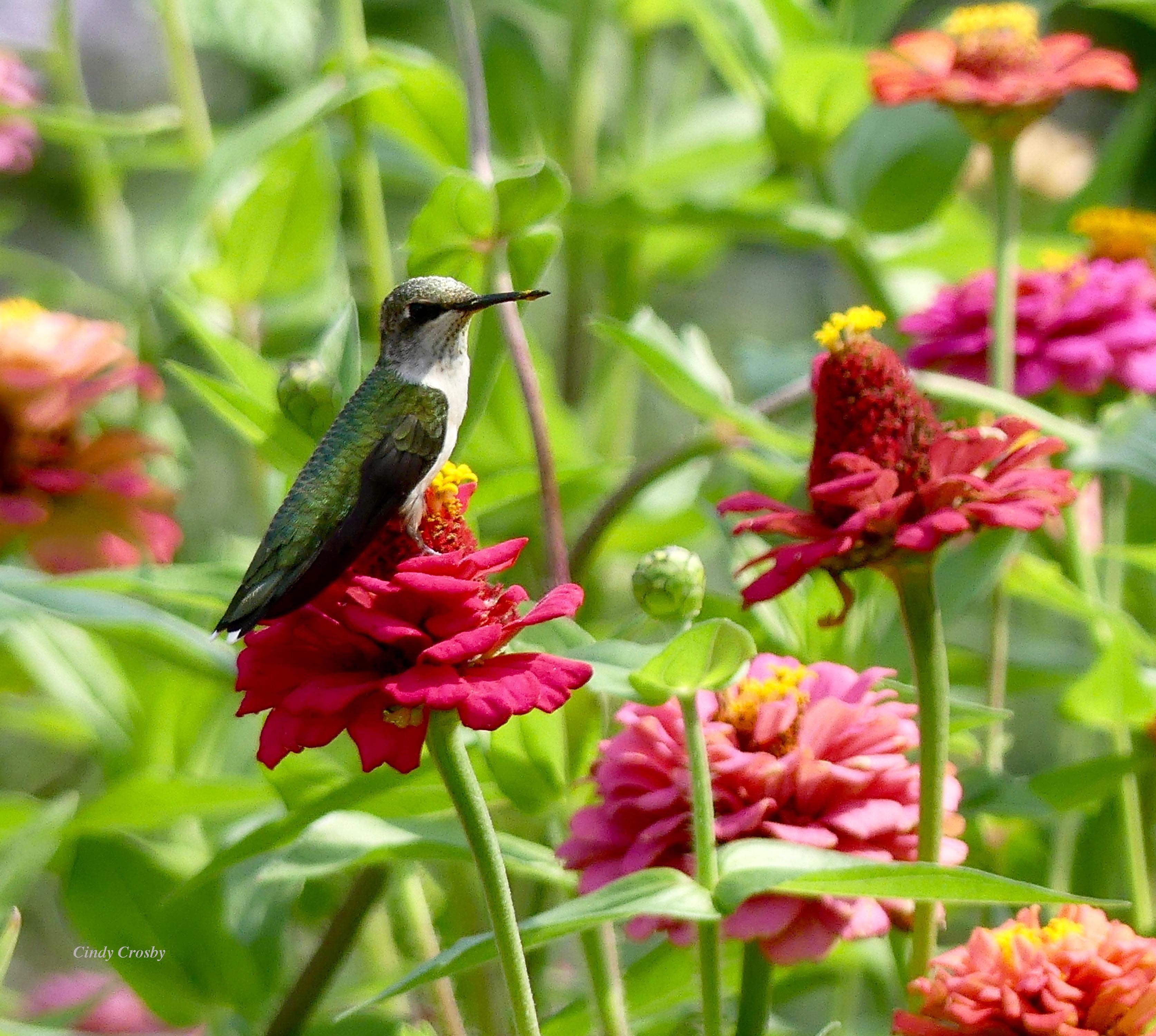 hummingbirdonzinniasbackyard92119WM.jpg