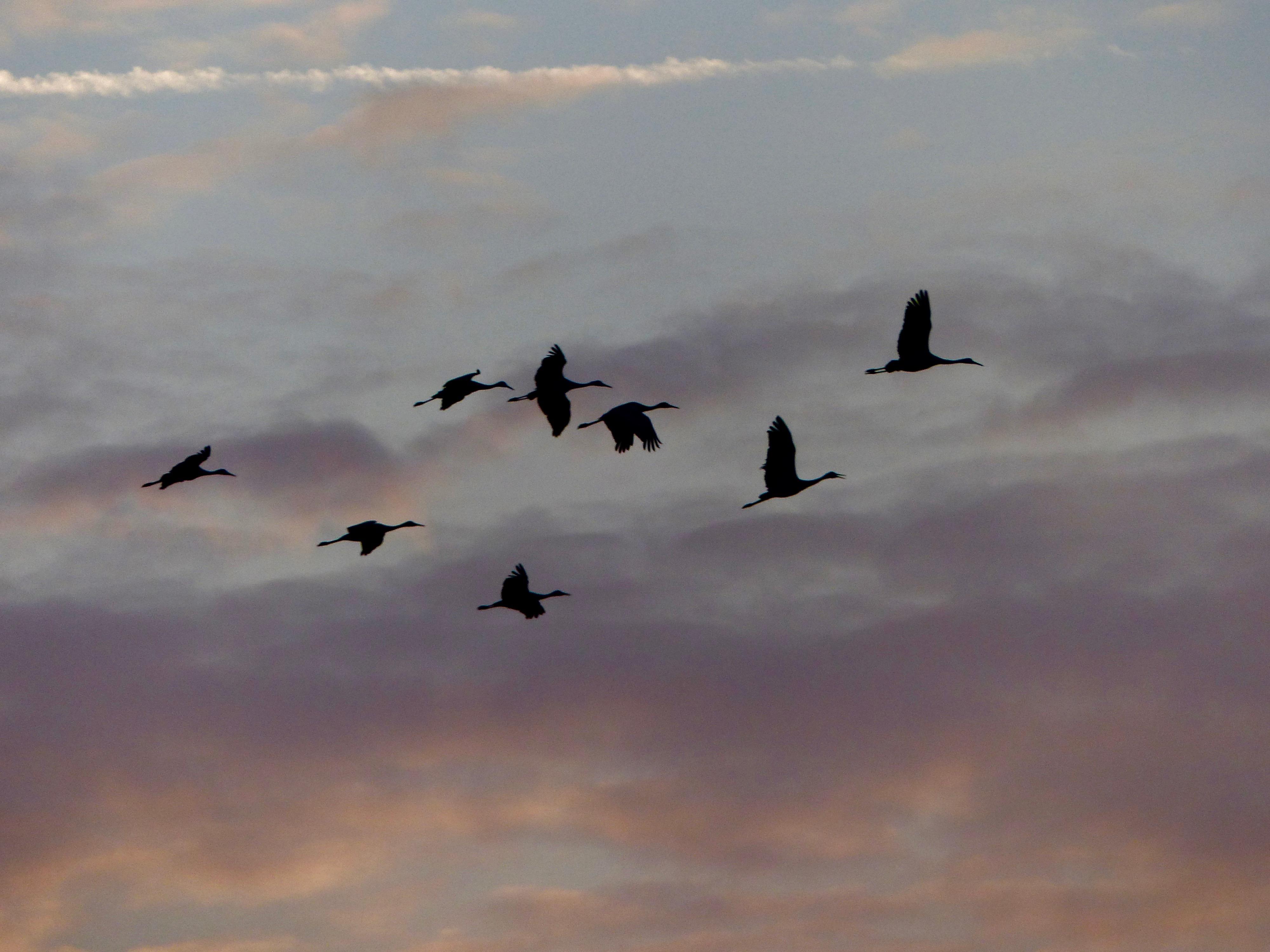 Jaspar Polaski Sandhill Cranes 2016 .jpg