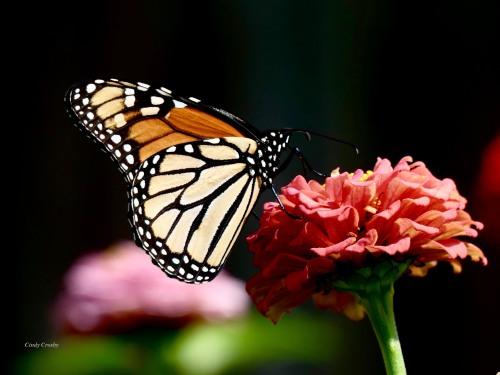 monarchonzinnia91519GEWM