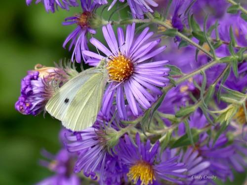 butterflyonnewenglandaster10819WM.jpg