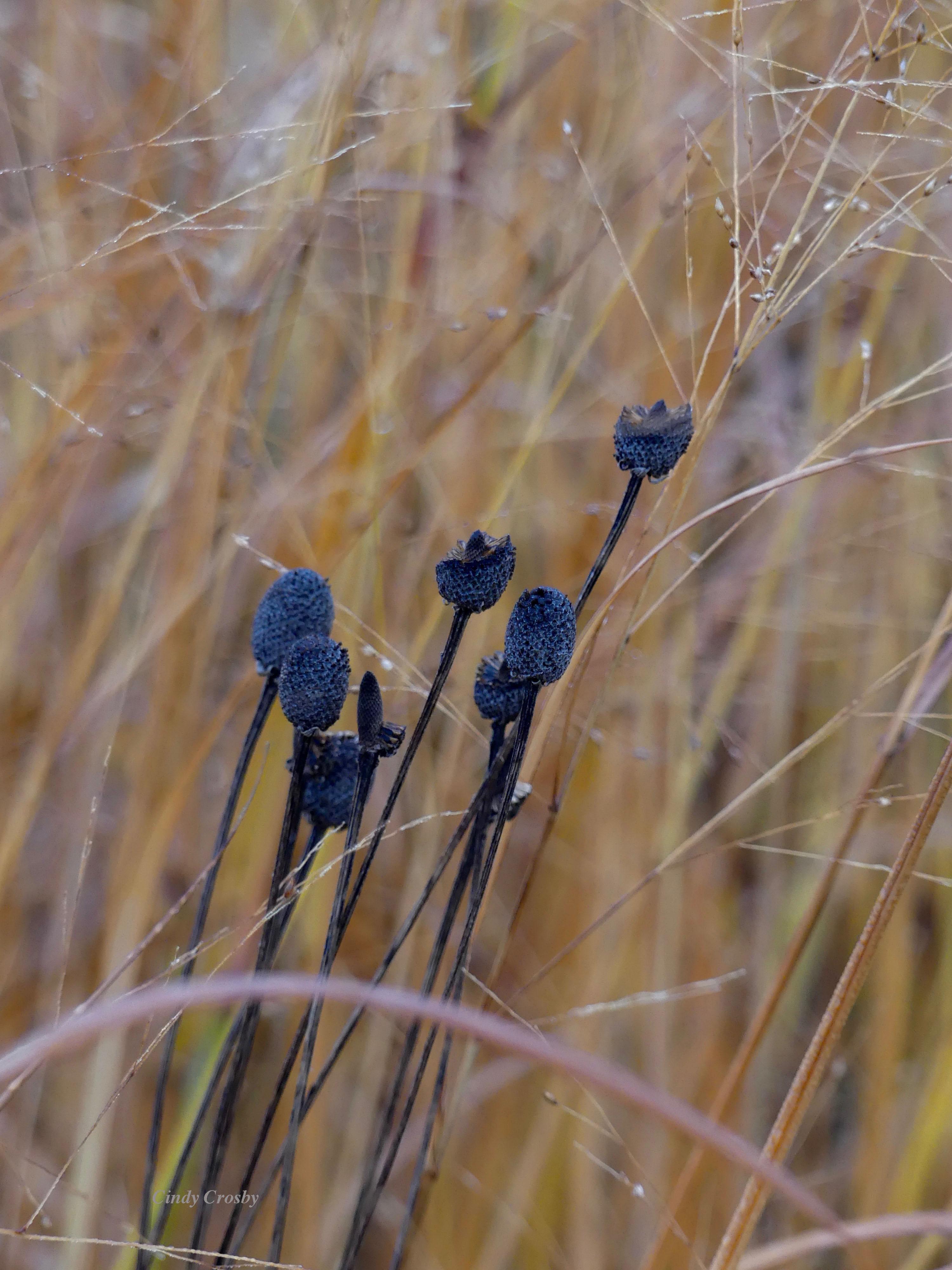 Switchgrassandgrayheadedconeflower102819WMSPMA copy.jpg