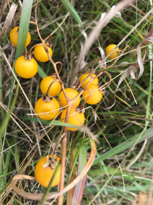 gold prairie fruits NGFFK11319WM.jpg