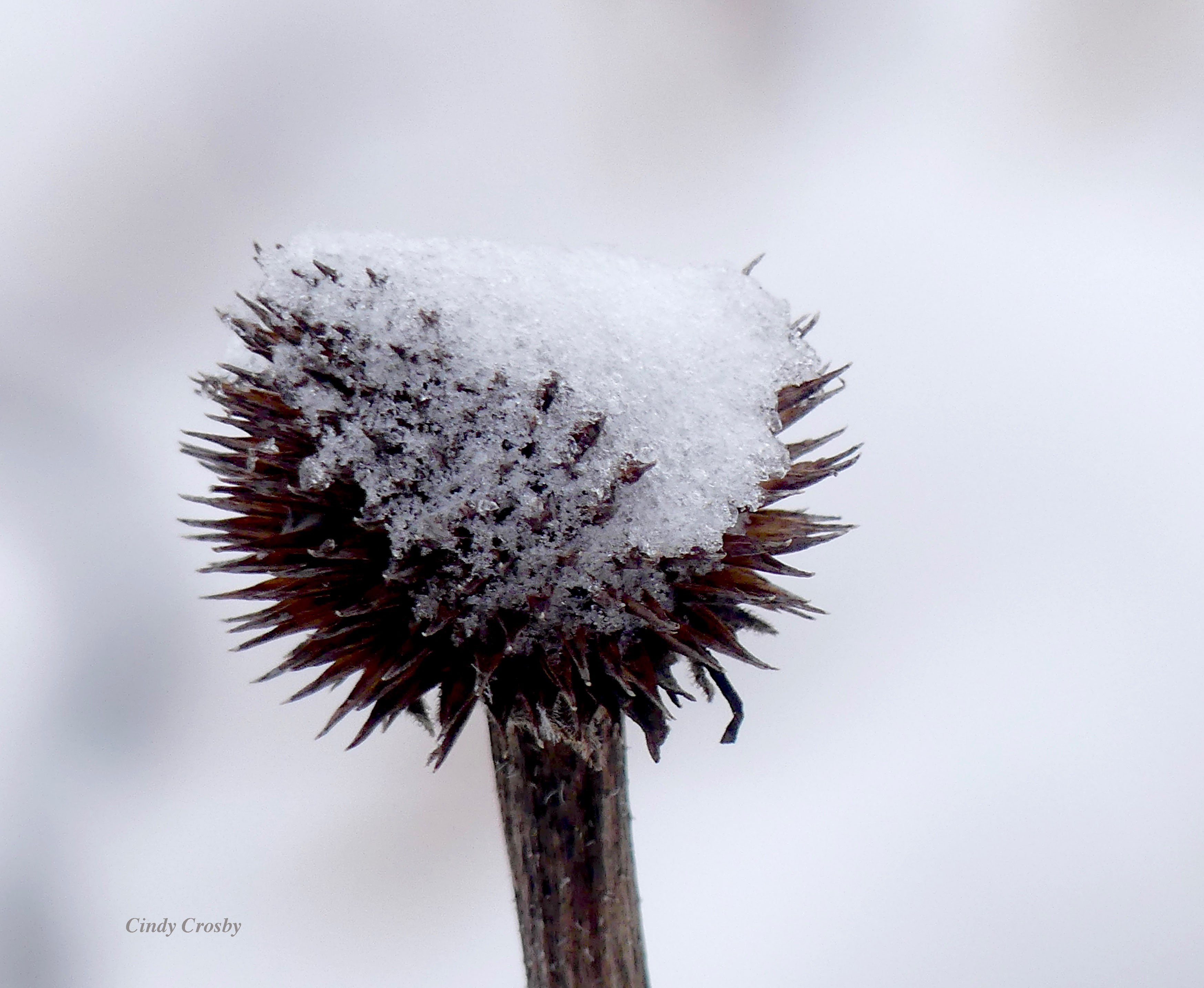 palepurpleconeflower111119WM.jpg