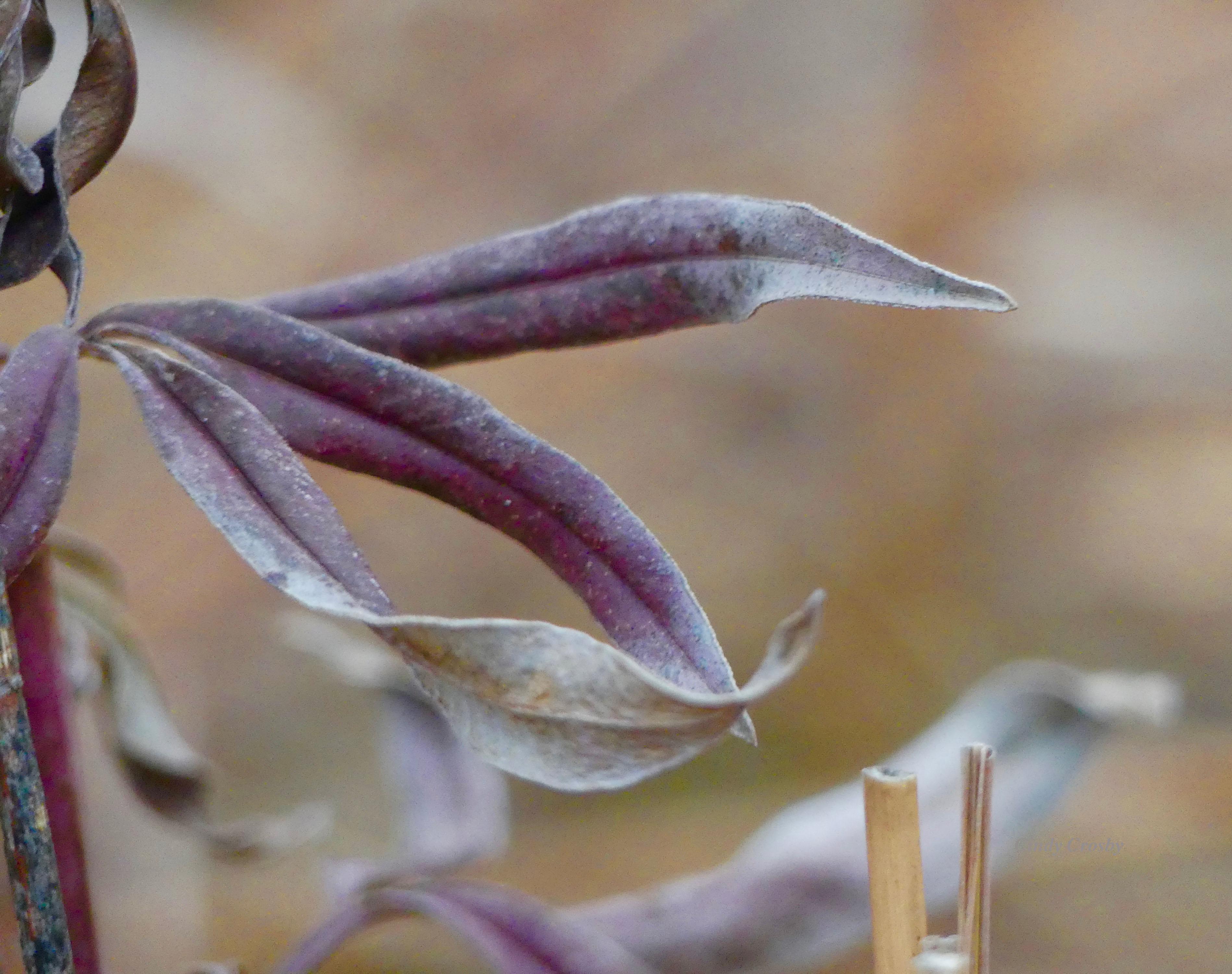 tallcoreopsiscolorBelmontPrairie111119WM.jpg