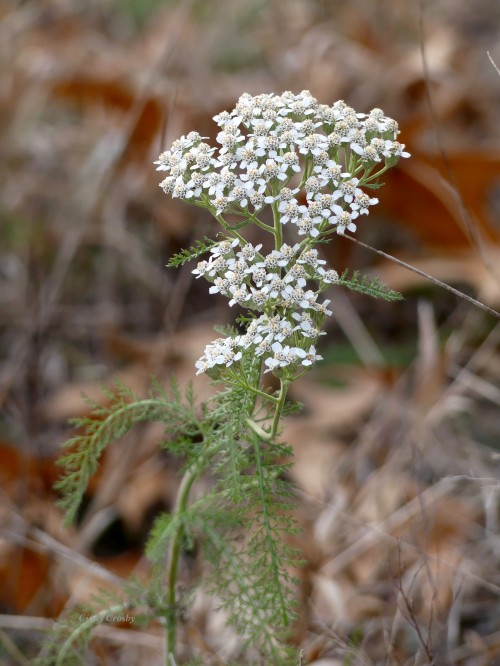Yarrow NGFFK11319WM.jpg