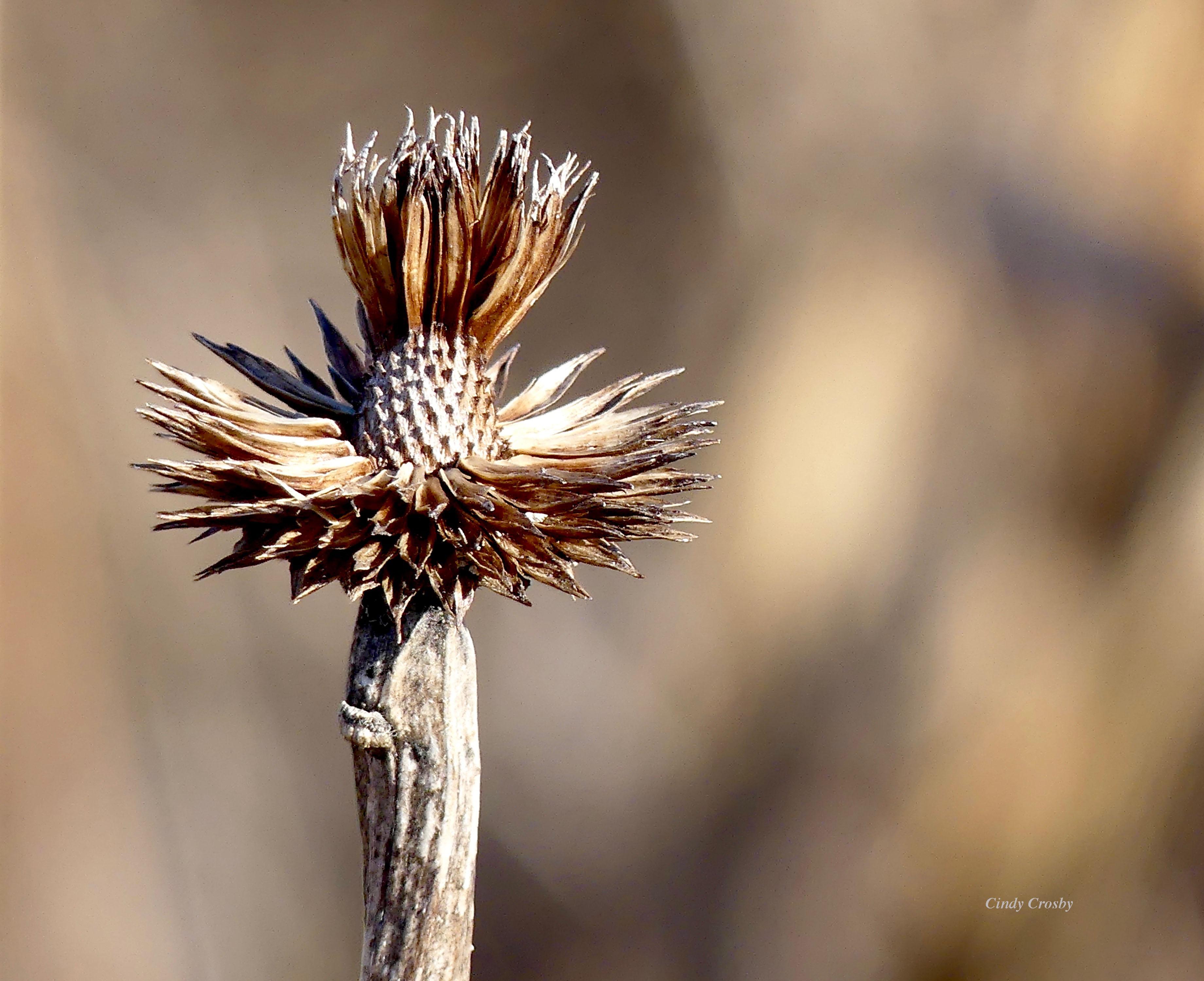 Palepurpleconeflower122219WM.jpg